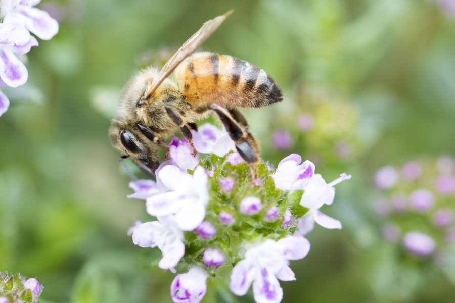 Miele piacentino - ape e miele su alveare