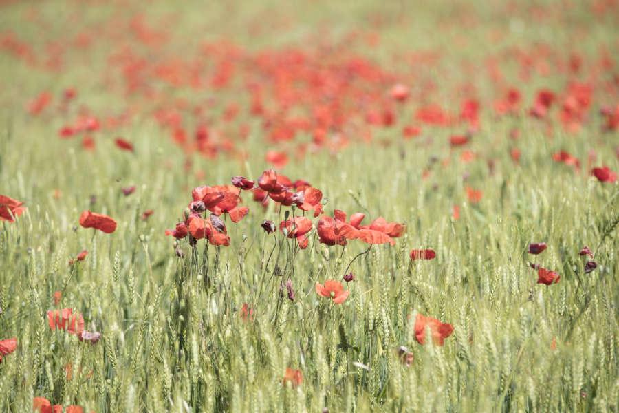 Piacenza come arrivare - val Trebbia -campo papaveri in fiore